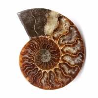 Gepolijst en gezaagd ammonietfossiel