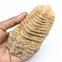 Fossiele trilobiet