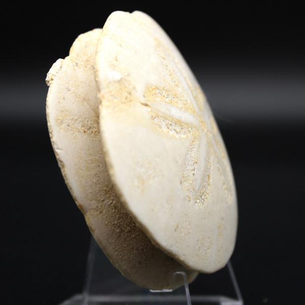 Scutella, fossiele zee-egel
